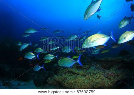 Bluefin Trevally fish hunting