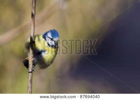 Eurasian blue tit sitting on a branch