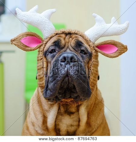 Bullmastiff Dog In Hat