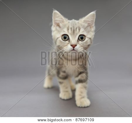 Little British Gray Kitten With Big Eyes