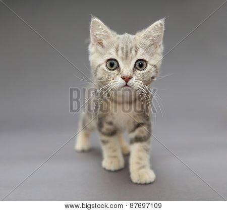 Little British Gray Kitten With Big Eyes