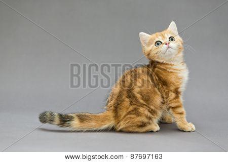 Little British Red Kitten With Big Eyes