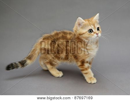 Little British Red Kitten With Big Eyes