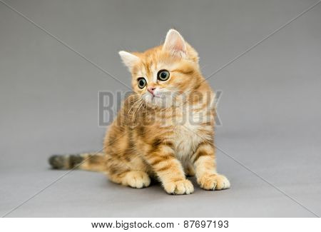 Little British Tabby Kitten  With Big Eyes