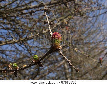 larch twig with belt and flower