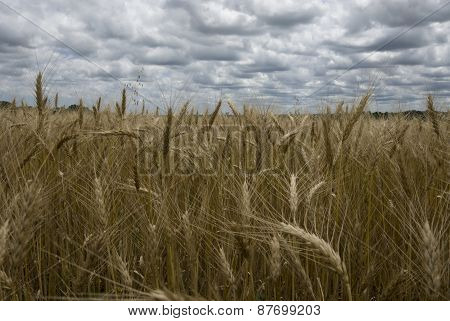 golden wheat fields