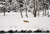 stock photo of white wolf  - wolf in Yellowstone National Park in winter - JPG