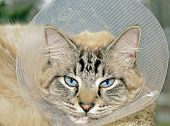 foto of vets surgery  - Siamese Balinese mixed breed cat wearing a cone after surgery - JPG