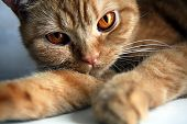 foto of hypnotizing  - Beautiful hypnotic eyes of the red cat - JPG