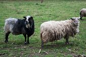 foto of sheep  - A black sheep and white sheep looking around in the autumn season - JPG