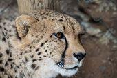 picture of cheetah  - portrait of cheetah female lieing in safari - JPG