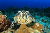 pic of hawksbill turtle  - Hawksbill Sea Turtle underwater on ocean coral reef - JPG