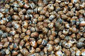 stock photo of edible  - Edible snails at the market waiting to be sold and eaten - JPG