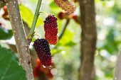 picture of mulberry  - all Fresh ripe mulberry berries on tree - JPG