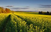 stock photo of rape-seed  - Summer afternoon in the field with rape - JPG