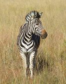 picture of grassland  - grassland scenery including a zebra in South Africa - JPG