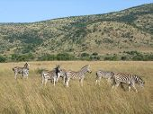 stock photo of grassland  - grassland scenery including some zebras in South Africa - JPG