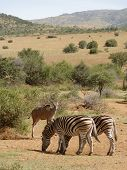 picture of grassland  - grassland scenery including some zebras and antelopes in South Africa - JPG