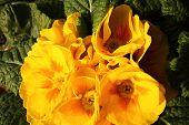 image of primrose  - Primroses in a vase in a public garden of a big city  - JPG