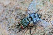 picture of blowfly  - close up Blow fly carrion fly bluebottles greenbottles or cluster fly - JPG