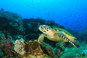 pic of hawksbill turtle  - Hawksbill Sea Turtle on coral reef - JPG