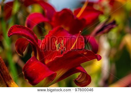 Beautiful red and yellow day lily flower