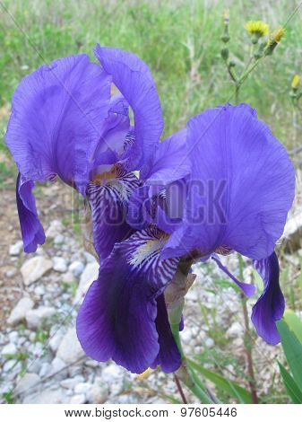A violet blooming iris