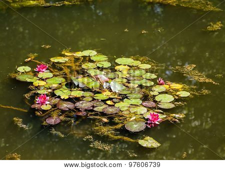 Magenta Lilies On Green Pond