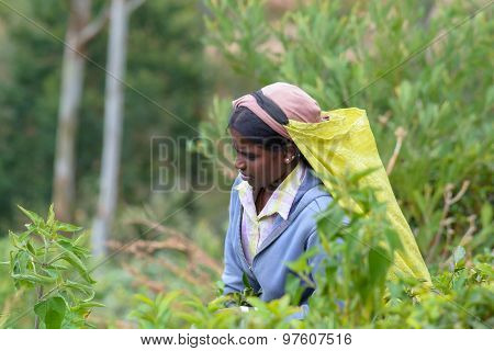 Tamil Woman Working Manually In Tea Plantation
