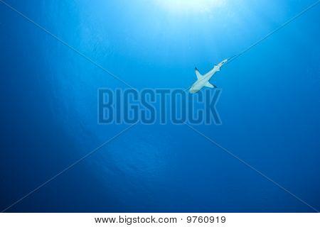 Gris del filón tiburón Carcharhinus albimarginatus