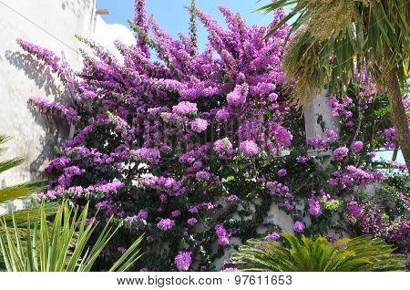 Purple bougainvillea blooming in the garden