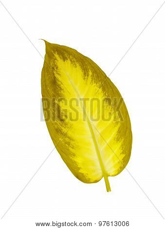 Beautiful Dieffenbachia Yellow Leaf Isolated On White