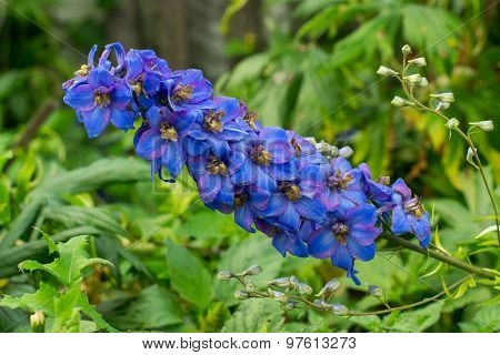 Beautiful Blue-purple Flowers Delphinium Garden