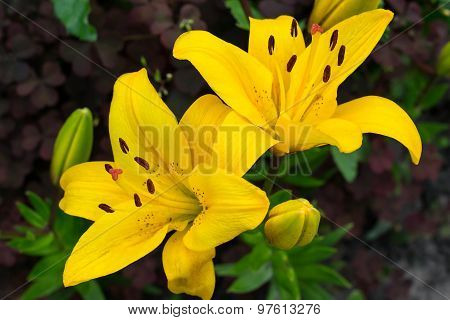 Varietal Yellow Lily