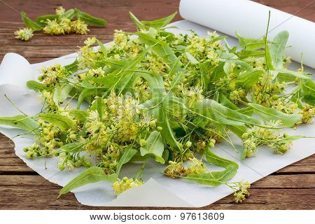 Freshly Linden Flowers For Drying And Herbal Medicine
