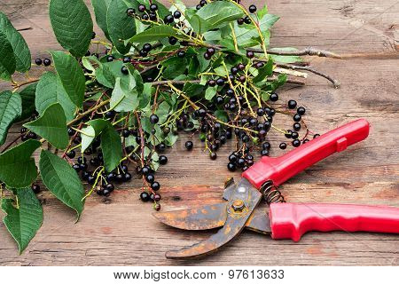 Branches Of Bird Cherry With Ripe Berries And Old Pruner
