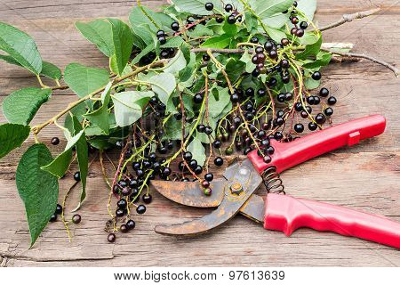 Secateurs And Branches Of Bird Cherry With Ripe Berries