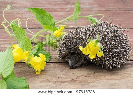 Funny Hedgehog Sleeping Next To A Flower Tladianta