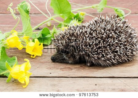 Sleeping Little Hedgehog With Flower And Apples