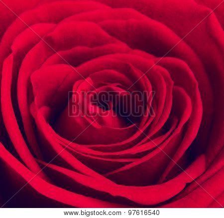 Red Rose Flower