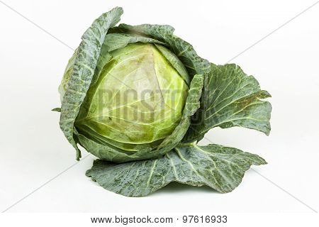 Freshly Picked Cabbage With Tight Folded Leaves