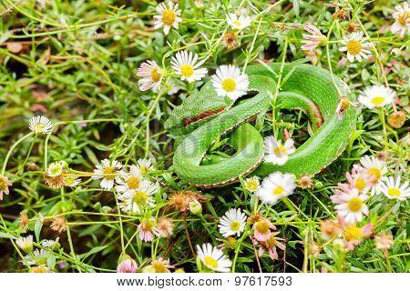 Great lakes bush viper.