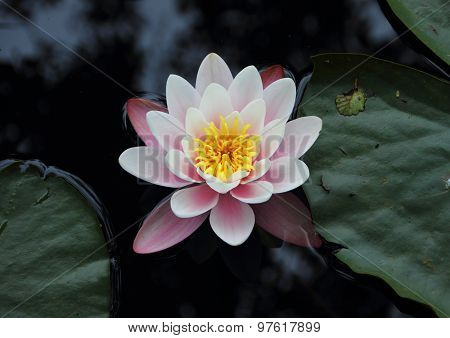 Purple Waterlily In Lake From Birdseye Perspective