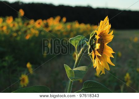 Sunflower On The Field Against The Evening