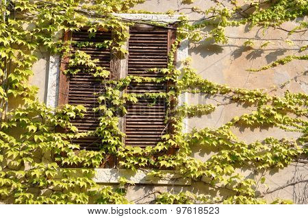 Old closed wooden window overgrown with green ivy