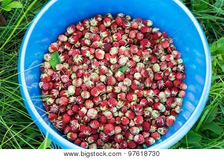 Lots Meadow Ripe Strawberries In A Blue Bucket