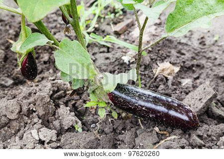 Ripe Aubergine On Bed In Garden