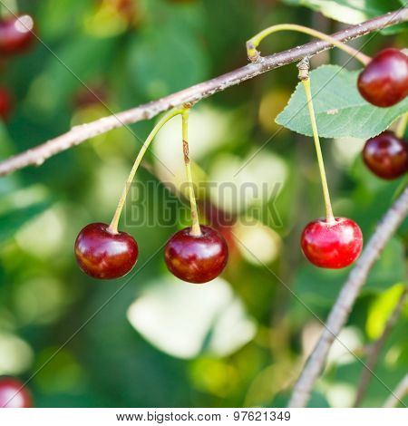 Red Cherry Ripe Fruits Close Up On Tree Branch