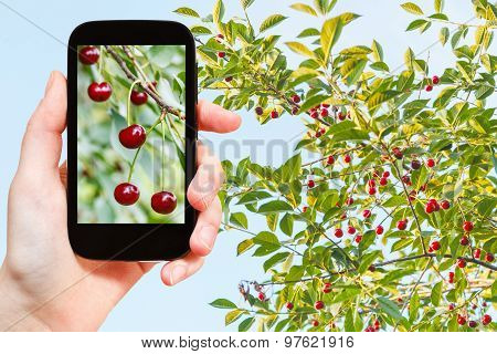 Tourist Photographs Of Tree With Ripe Red Cherry