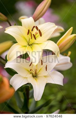 Beautiful Flowers Of Yellow Lilies.